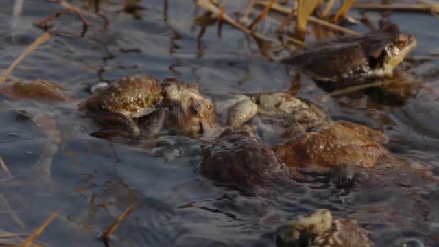 Small group of toad in the water