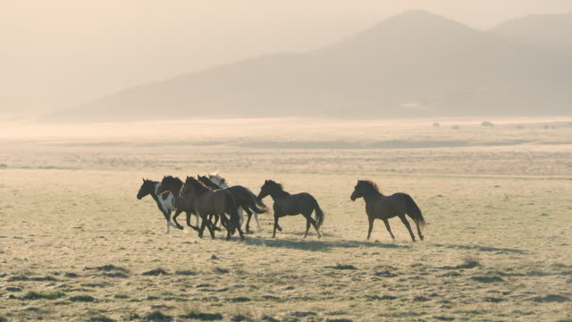Small group of wild horses running across golden field