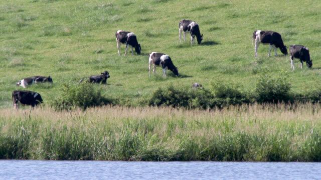 vídeos y material grabado en eventos de stock de pequeñas de ganado lechero blanco y negro - johnfscott