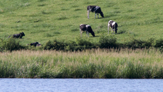Small heard of black and white dairy cattle