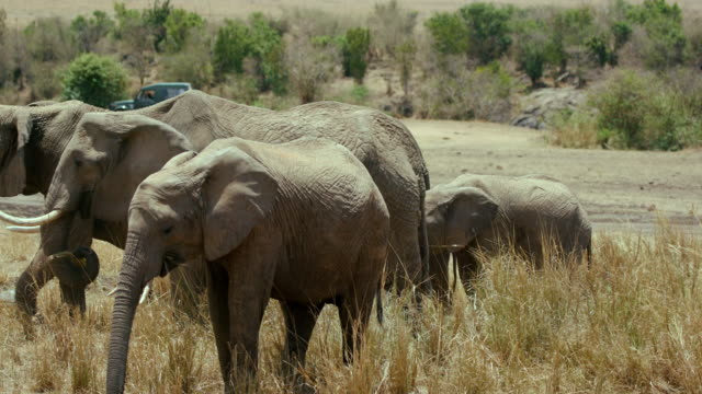 Small Herd Of African Elephants Maasai Mara  Kenya  Africa