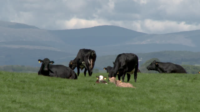 small herd of beef cattle with calves - cattle stock videos & royalty-free footage