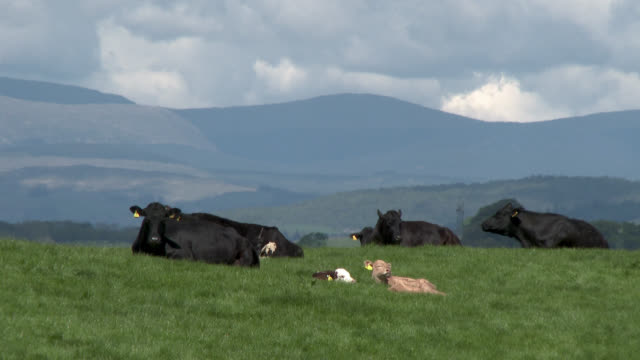 small herd of beef cattle with calves - galloway scotland stock videos & royalty-free footage