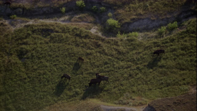 a small herd of bison grazes in badlands national park. available in hd. - badlands national park video stock e b–roll