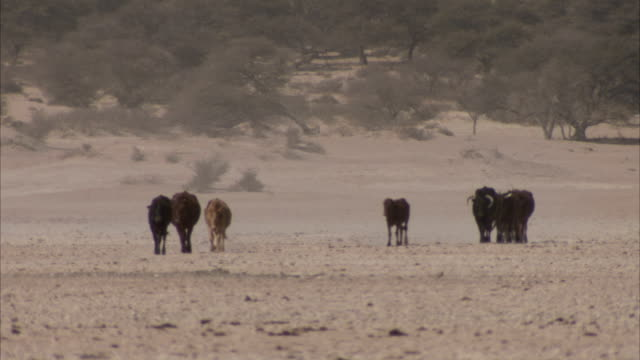 A small herd of cattle walk across a flat, dusty plain. Available in HD.