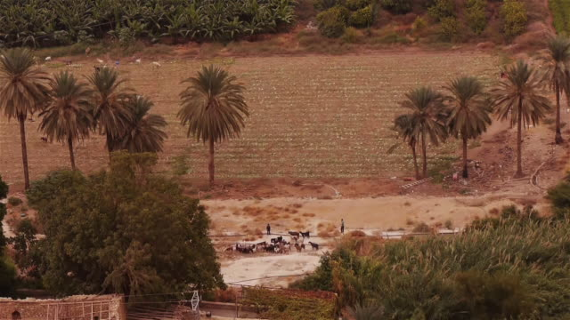 small herd of cattle with two shepherds among palm trees in jericho - spoonfilm stock-videos und b-roll-filmmaterial