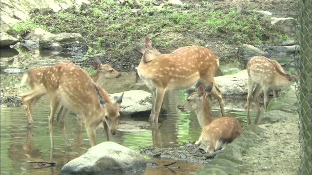 vídeos de stock e filmes b-roll de a small herd of deer relax on the stony banks of a shallow river in nara,japan. - herbívoro