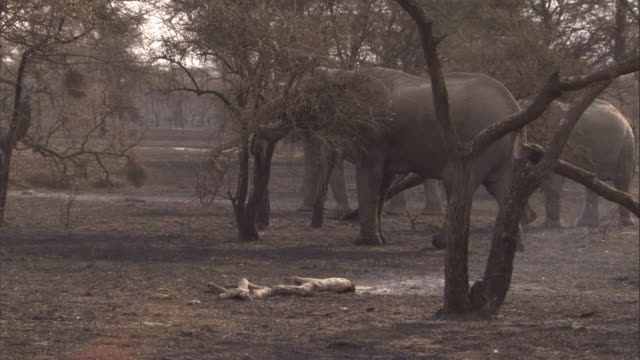A small herd of elephants passes through scrubland that still smoulders after a wildfire. Available in HD.