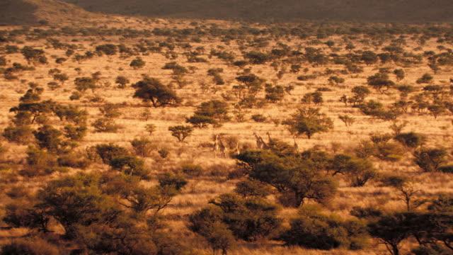 vídeos y material grabado en eventos de stock de a small herd of giraffes walks in the kalahari desert. available in hd. - desierto del kalahari