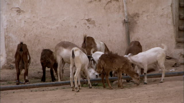 a small herd of goats forage around the grounds of high rise buildings in shibam. - 食糧を捜す点の映像素材/bロール