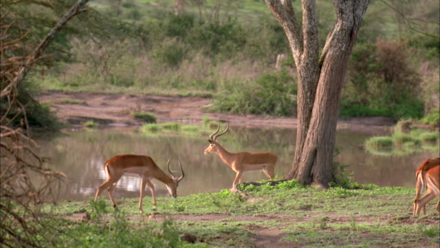 a small herd of impalas walk and graze by a small lake in serengeti national park. - grazing stock videos & royalty-free footage