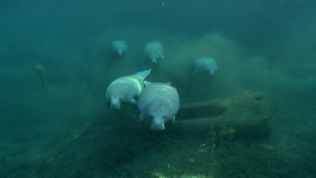 a small herd of manatees swim along the weedy bottom of a spring. - rundschwanzseekuh stock-videos und b-roll-filmmaterial