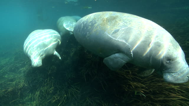 a small herd of manatees swims along the weedy bottom of a clear spring. - lamantino video stock e b–roll