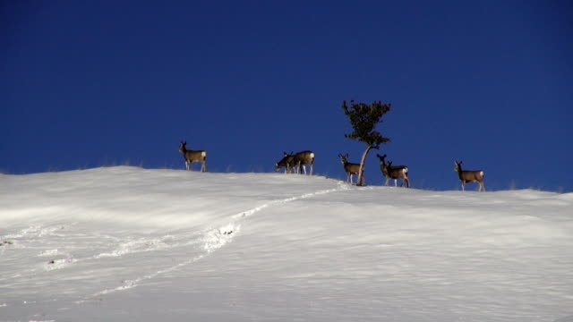 small herd of mule deer along snow covered horizon with lone tree. - mule stock videos & royalty-free footage