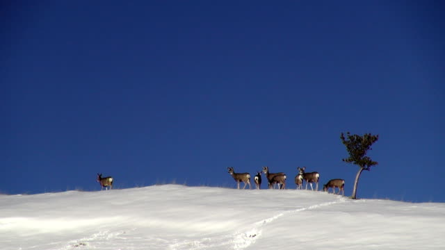 small herd of mule deer along snow covered horizon with lone tree - mule stock videos & royalty-free footage