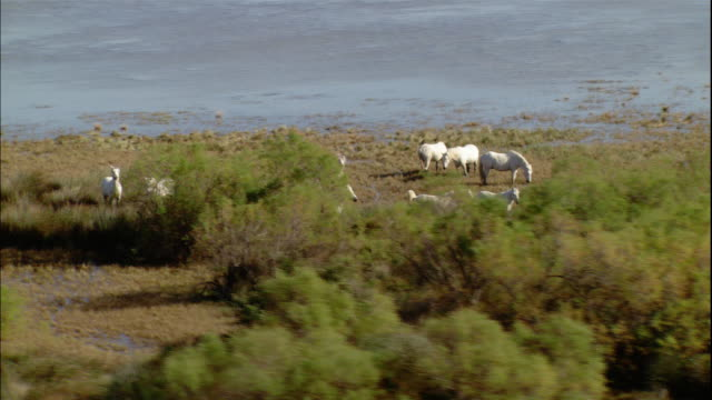 stockvideo's en b-roll-footage met a small herd of wild white horses grazes in camargue, provence, france. - paard paardachtigen