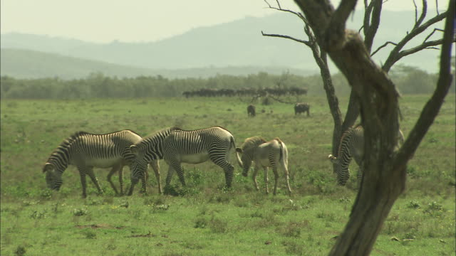 A small herd of zebra graze on the savannah.