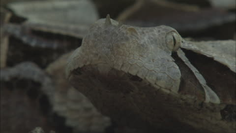 small horns jut from the nose of a gaboon viper. - viper stock videos & royalty-free footage