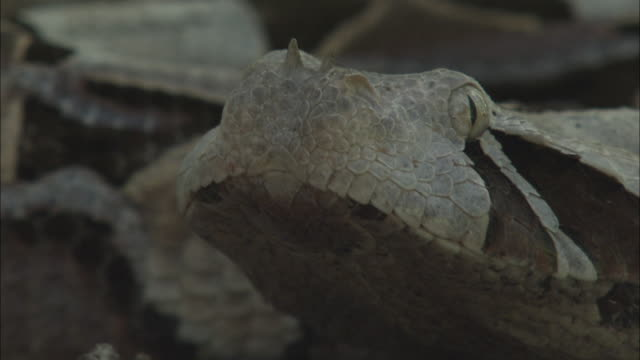 small horns jut from the nose of a gaboon viper. - horned stock videos & royalty-free footage
