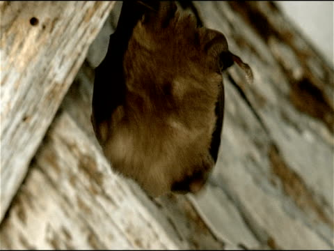 small horseshoe bat (rhinolophus sp.) hanging from ceiling, cu, parque natural los alcornocales (cadiz y malaga), andalucia, spain - appollaiarsi video stock e b–roll