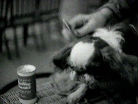 a small king charles spaniel is brushed 1954 - spaniel stock videos and b-roll footage