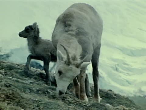 small lamb walking up mountain hill away from ewe - mutterschaf stock-videos und b-roll-filmmaterial