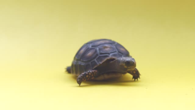 small land turtle in a yellow background - turtle shell stock videos & royalty-free footage