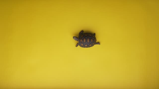 small land turtle walking alone in a yellow background - zoologia video stock e b–roll