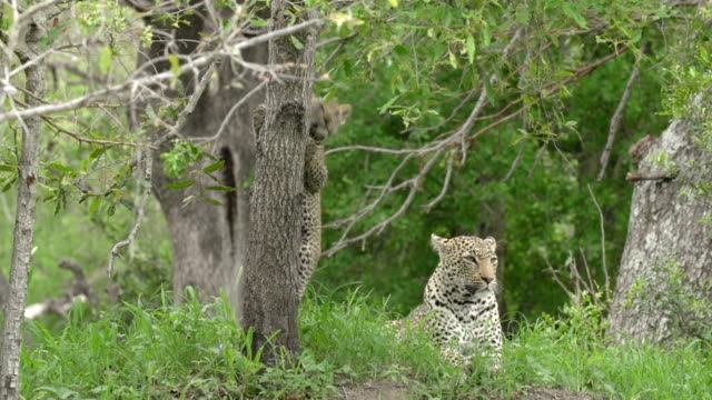 small leopard cub climbs up to its mother on green termite moundplays with tree trunk , kruger national park, south africa - moving up stock videos & royalty-free footage