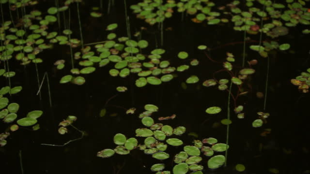 Small Lily Pads Floating on Water's Surface in Forest