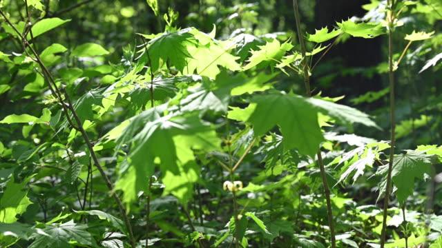 vídeos de stock e filmes b-roll de small maple trees in spring. slow panoramic camera movement. germany, berlin. - casca de árvore