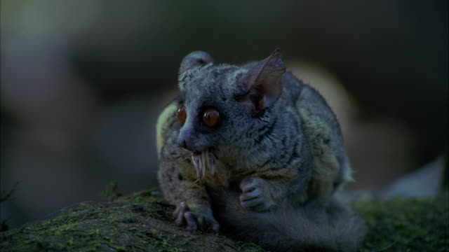 cu small marsupial mouse eating bug / unspecified - mouse animal stock videos & royalty-free footage