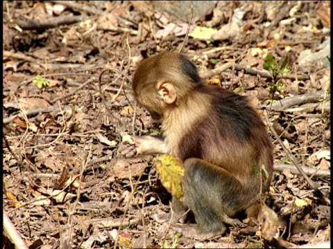 a small monkey foraging for food sits down to eat. - foraging stock videos & royalty-free footage