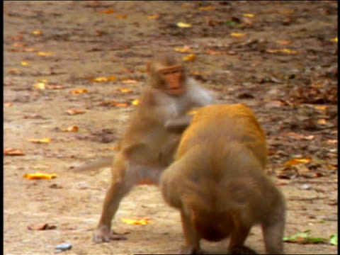 Small monkey running up to larger monkey + mating with it / Cayo Santiago, Puerto Rico