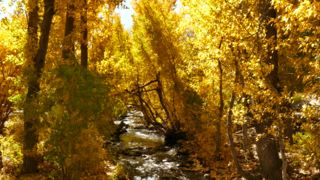 4K - Small Mountain Creek Flowing Under Bright Yellow Autumn Trees