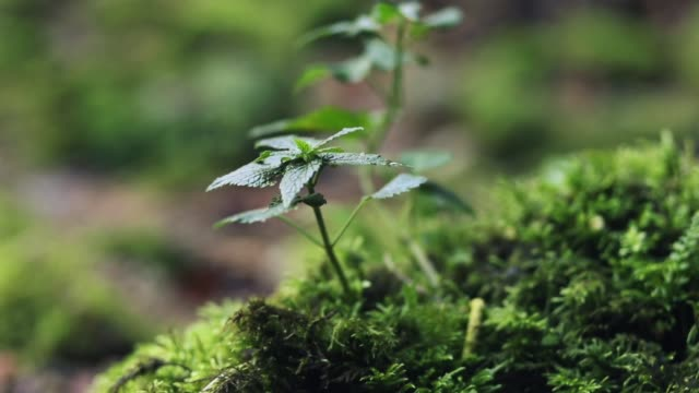 small nettle and moss growing in wet weather - nettle stock videos & royalty-free footage