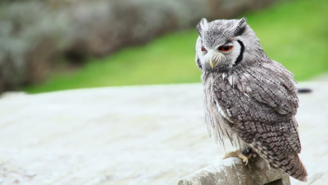 stockvideo's en b-roll-footage met ms small owl perched on back of chair / bovey, england, united kingdom - wiese