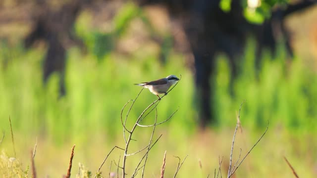 small passerine bird perching on the twig at summer - twig stock videos & royalty-free footage