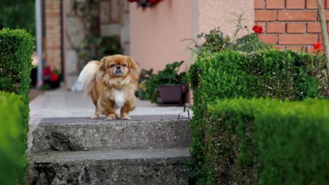 Small pekingese dog in front of his house
