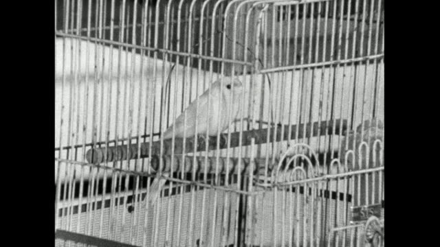 zo small pet bird kept in a domestic bird cage; 1966 - bbc archive stock-videos und b-roll-filmmaterial