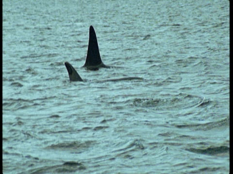 a small pod of killer whales swims near the shores of norway. - rückenflosse stock-videos und b-roll-filmmaterial