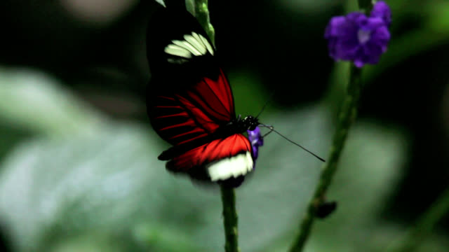 small postman butterfly feeding - farfalla video stock e b–roll