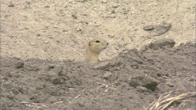 HA Small prairie dog looking out from a hole in the ground and then going back in / United States