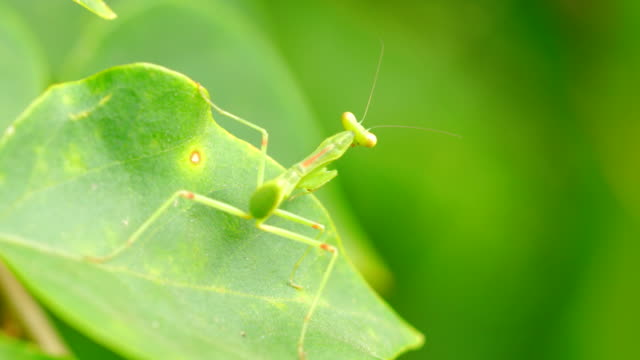 small praying mantis on green leaf - camouflage stock videos & royalty-free footage