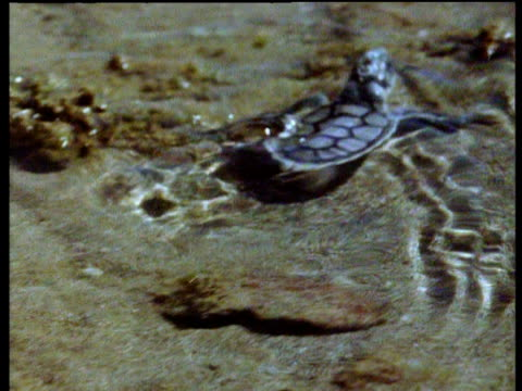 Small, predatory octopus moves through clear, shallow rock pools towards hatchling Flat Back turtle, then wraps itself around turtle