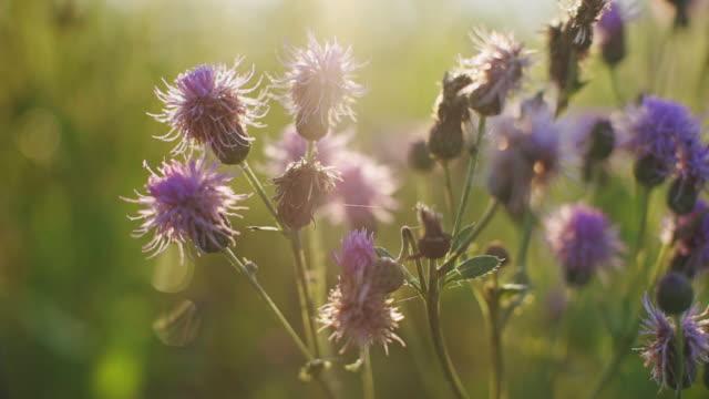 vídeos de stock e filmes b-roll de small purple thistle flowers tremble with sunlight - choupo tremedor