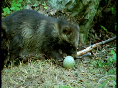 small raccoon dog pups fight over egg in forest, finland - babyhood stock videos & royalty-free footage