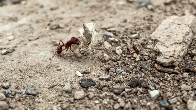 a small red ant carries a large piece of food to its dirt anthill underneath a rock outdoors - carrying stock videos & royalty-free footage