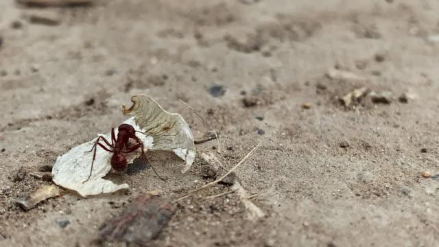 vídeos y material grabado en eventos de stock de un pequeño hormiga roja intenta y tiene éxito en la recogida de una semilla con sus pinchers boca en la suciedad al aire libre - supervivencia