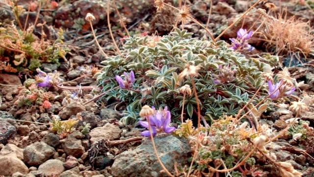 Small rocky purple macro wildflower Summit Steens Mountain Near Malhuer Wildlife Refuge 2